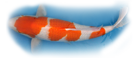 Koi with orange spots